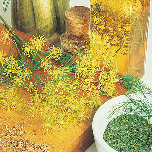 Mammoth Dill Seed Herb — Plant