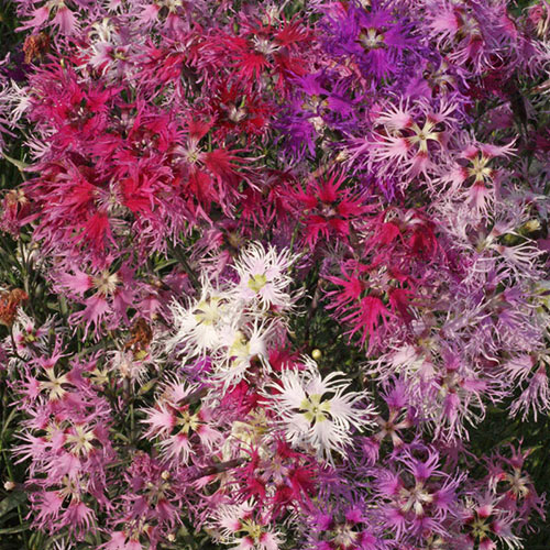 Rainbow Loveliness Dianthus