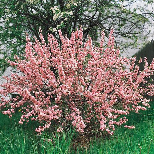 Flowering Almond Hedge