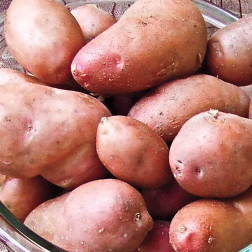 French Fingerling Potato