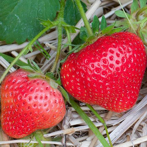 Annapolis Strawberry Plant