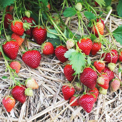 Brunswick Junebearing Strawberry Plant