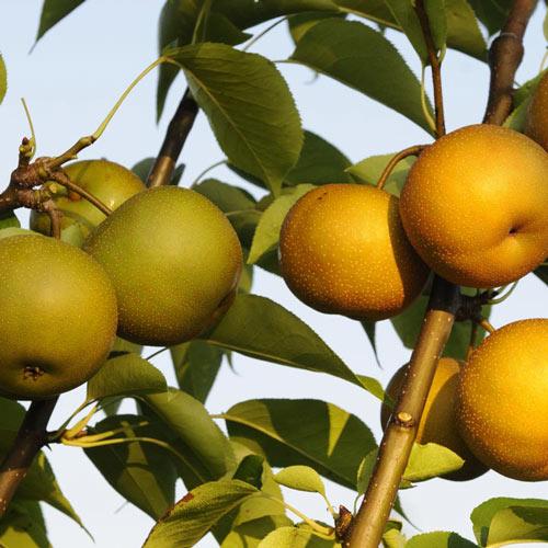 2-in-1 Asian Pear Tree