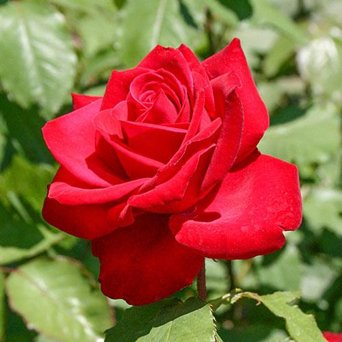 Olympiad Hybrid Tea Rose