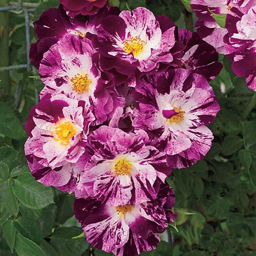 Purple Splash™ Climbing Rose
