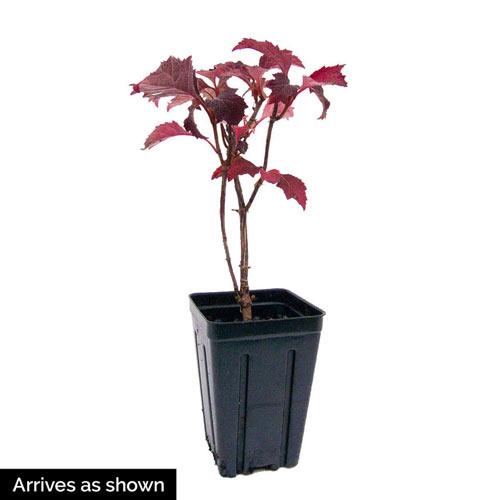 Ruby Slippers Dwarf Oakleaf Hydrangea Plant