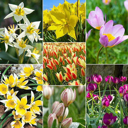Best Tulips for Naturalizing Collection