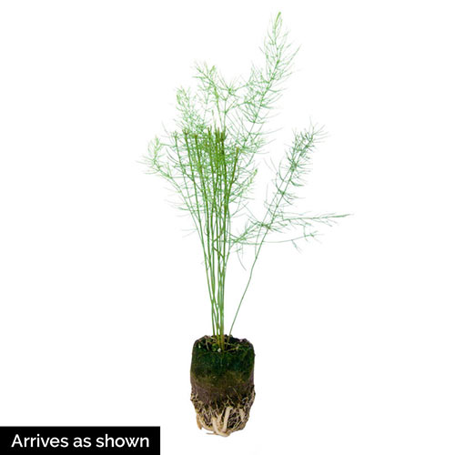 Spartacus Hybrid Asparagus Plant