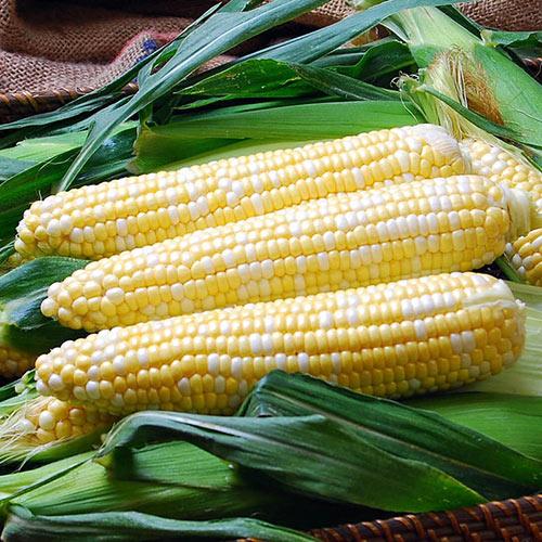 Solstice Sweet Corn