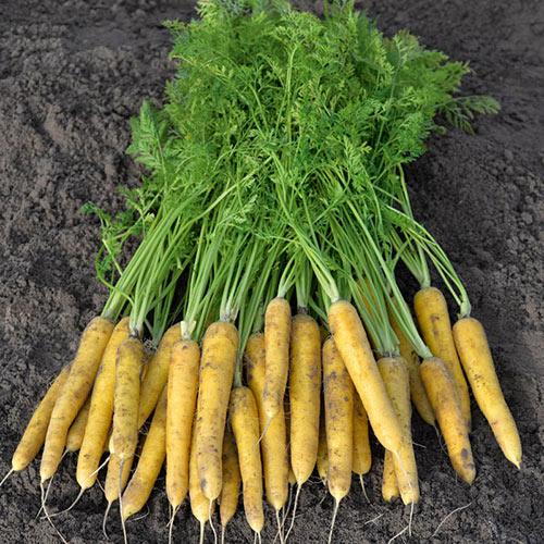Yellow Moon Carrot