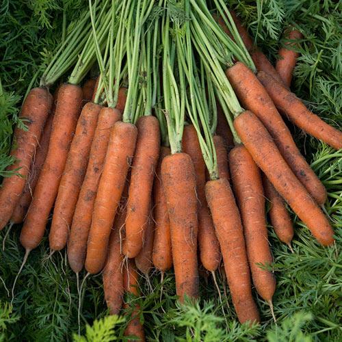 Adana Hybrid Carrot