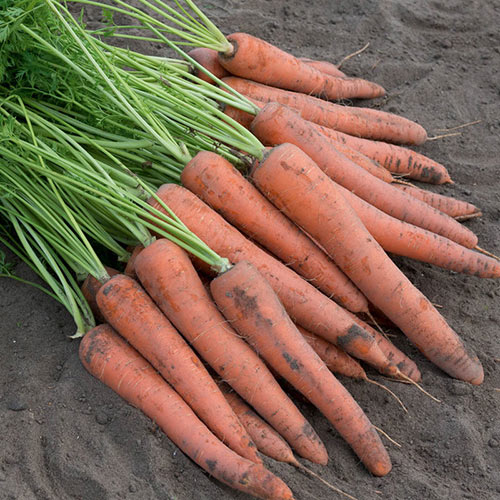 Istanbul Hybrid Carrot