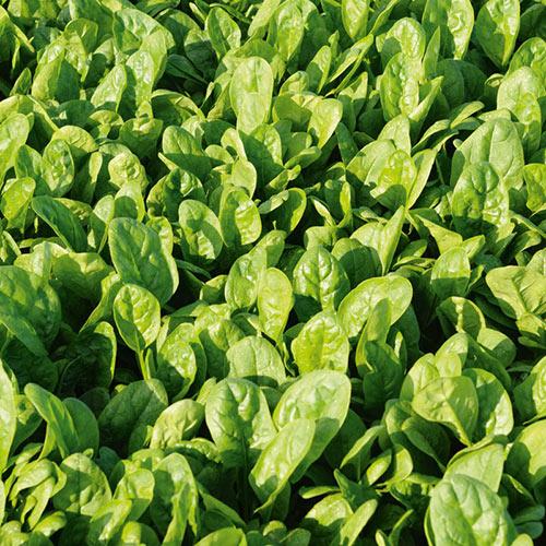 Patton Hybrid Spinach