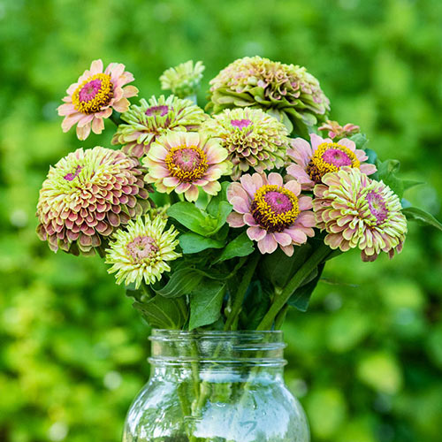 Queeny Lime with Blotch Zinnia