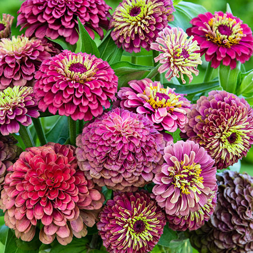 Queeny Lime Red Zinnia
