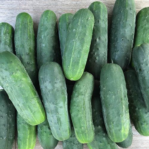 Super Max Hybrid Pickling Cucumber