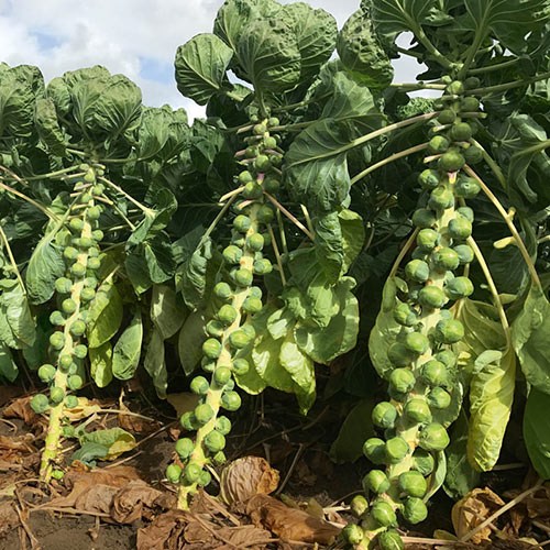 Silvia Hybrid Brussels Sprouts