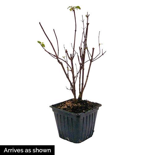 Mock Orange Plant