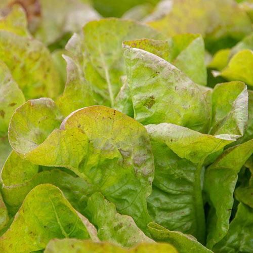 Blush Butter Cos Lettuce