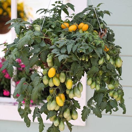 Pear Drops Tomato