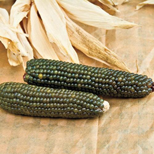 Emerald Ornamental Corn