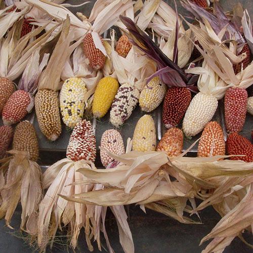 Strawberry DeLite Ornamental Corn