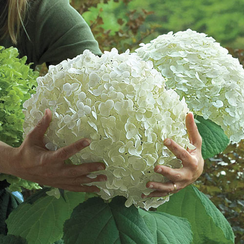 Incrediball<sup>®</sup> Hydrangea Plant