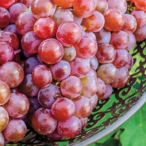 Tickled Pink™ Grape Vine