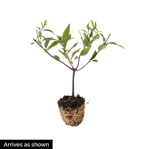 Hardy Carolina Jasmine Plant