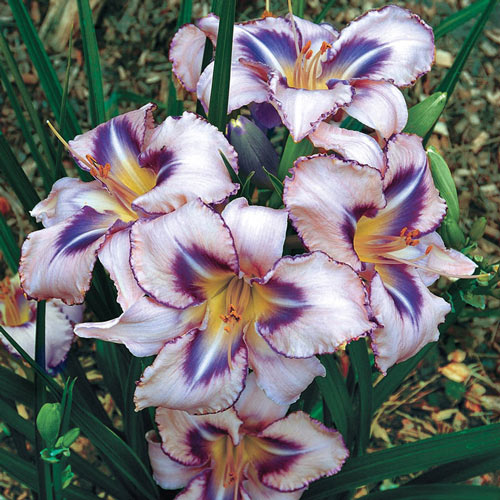 Destined to See Daylily Plant