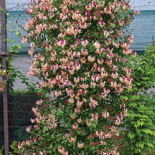 Fragrant Cloud Honeysuckle Plant