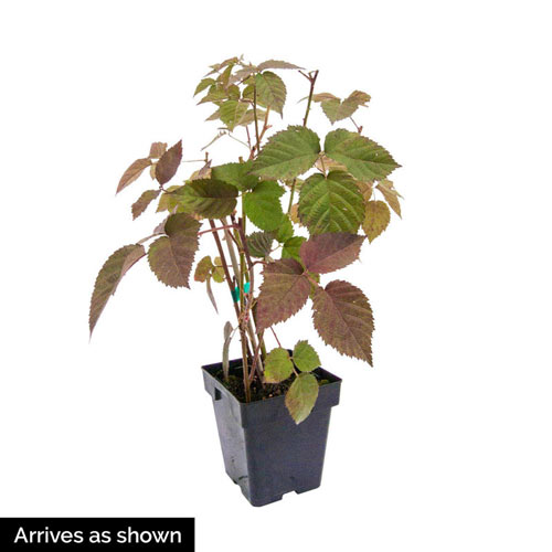 Sweet Repeat™ Red Raspberry Plant
