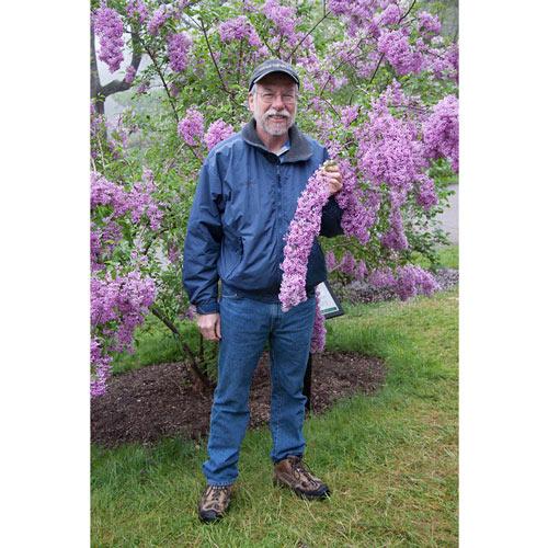 Lilac Sunday Lilac Plant