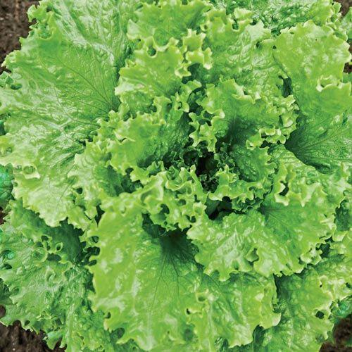 Tropicana Leaf Lettuce