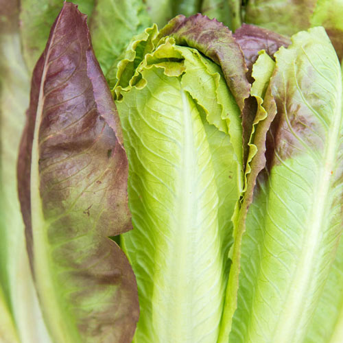 Cimarron Romaine Lettuce Seed
