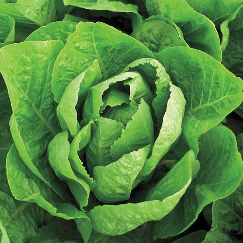 Super Jericho Romaine Lettuce Seed