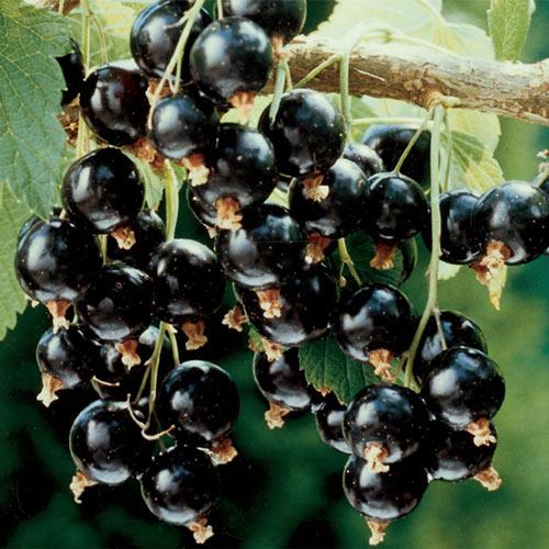 Consort Black Currant Tree