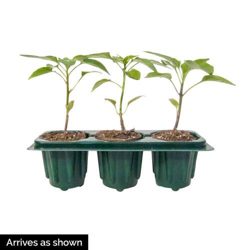 Sungold Hybrid Cherry Tomato