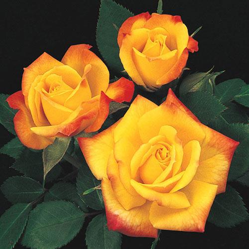 Rainbow's End Miniature Rose