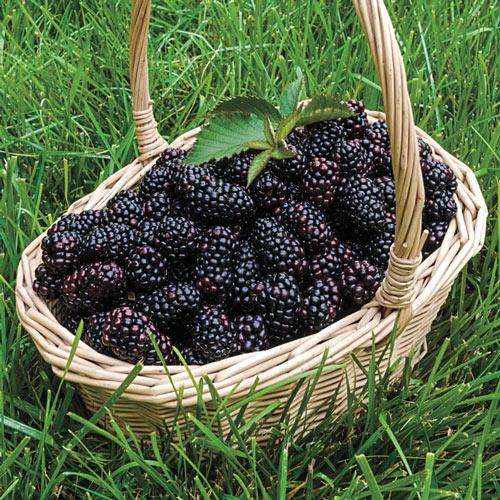 Heaven Can Wait™ Blackberry Plant