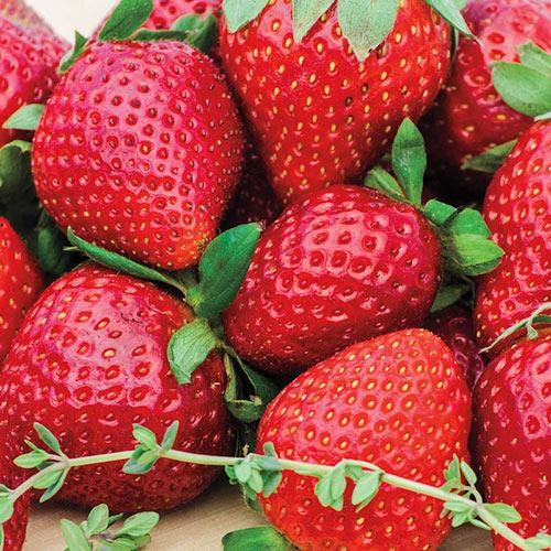 Wendy Strawberry Plant