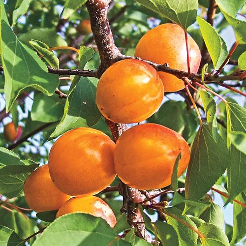 Honey Pearls™ Nectacot Tree