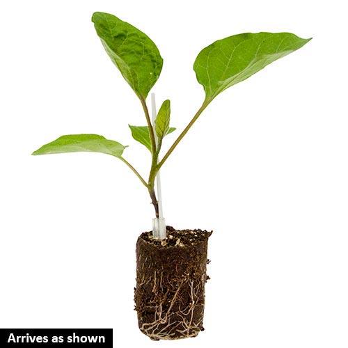 Ping Tung Long Eggplant Seed