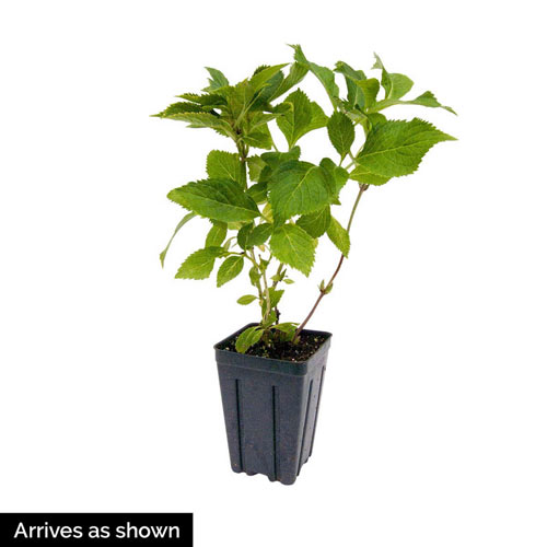 Penny Mac Reblooming Hydrangea Plant