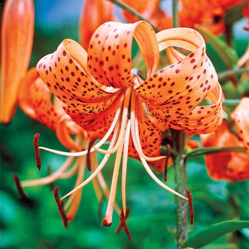 Hybrid Tiger Lily