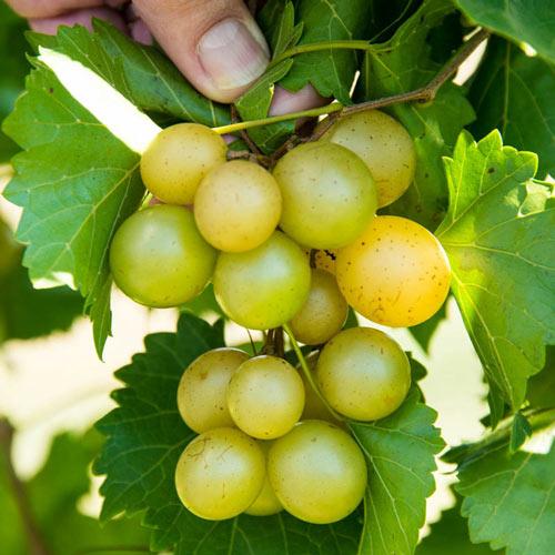 Tara Grape Vine