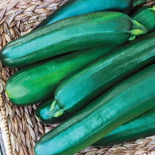 Gurney's<sup>®</sup> Pride Improved Hybrid Zucchini Summer Squash Seed