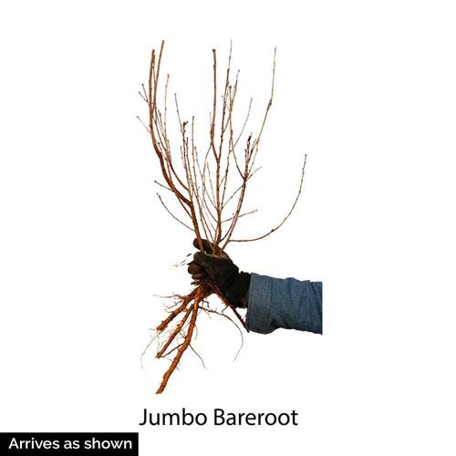 Juliet™ Dwarf Cherry Tree