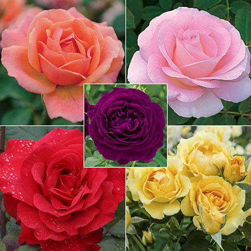 Landscape Rainbow of Roses Collection