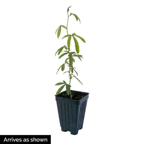 Passion Flower Plant